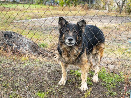 Watchdog shepherd dog behind a fence. Animals. Security.