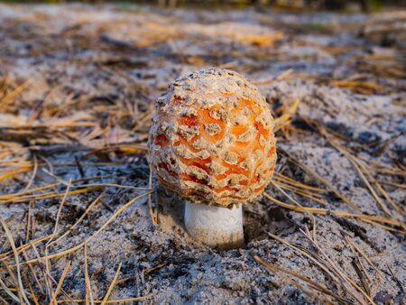 Amanita mushroom on the sand in the forest. Background image. Place for text. 版權商用圖片