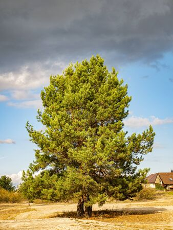 Lonely pine tree against the sky. Natural landscape.