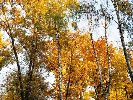 Yellow autumn foliage of trees against the blue sky. Natural landscape. Stok Fotoğraf