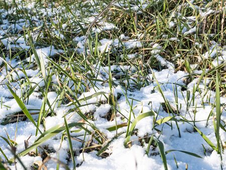 Green sprouts from under the snow in the spring. Background image. Place for text. Earth Day. 版權商用圖片
