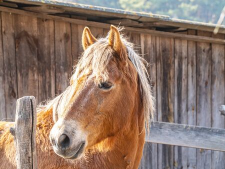The head of a brown horse with a mane. Horse. Mare. The farm. Ranch. Cattle breeding. Agriculture. Place for text. Background image.