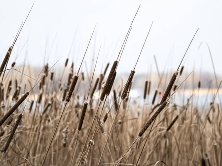 Reed cane above the surface of the water. Natural background. A place for fishing or hunting. Dnepr River. Background image. Place for text. Landscape. Sunny day. Blue sky.