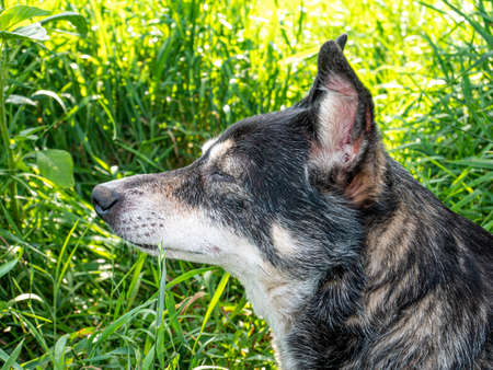 Yard dog on a background of green grass in the sun. Domestic dog. Pets. He bared his mouth. Summer. Dog bitch. Background image. Mammals Archivio Fotografico