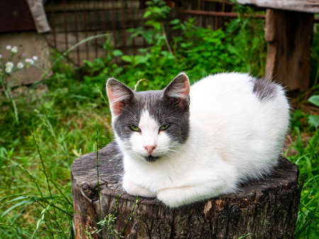White cat with gray ears on a tree stump. Pets. Domestic cat. Kitty. Archivio Fotografico