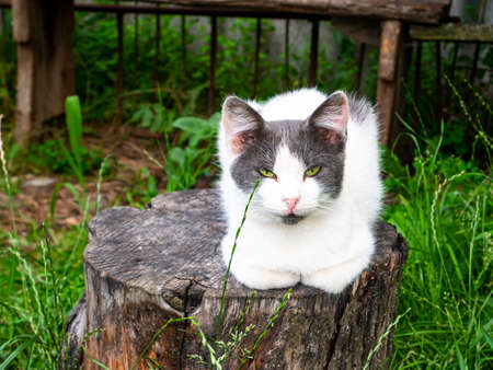 White cat with gray ears on a tree stump. Pets. Domestic cat. Kitty. Mammal predator. Cat family.