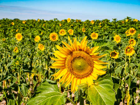 Blooming field of sunflowers against the blue sky. Farm field. Agriculture.