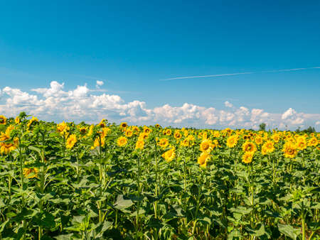 Blooming field of sunflowers against the blue sky. Farm field. Agriculture. Advertising photo. Sunlight. Windy weather. Outdoors. Summer season. Admire the view.