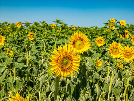Blooming field of sunflowers against the blue sky.