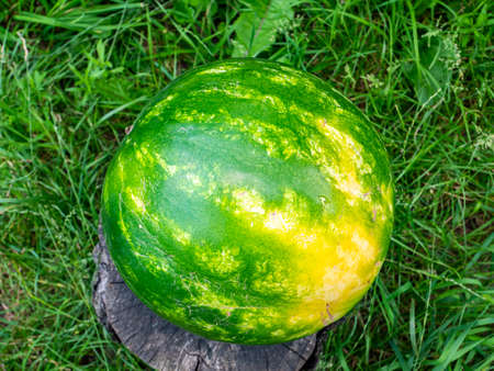 Green striped watermelon on a tree stump. Berry. Food photo. Place for your text. Harvest of watermelons. Background image. Poster. Advertising photo of a shop window. Summer season. Archivio Fotografico