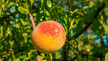 Peach fruit on a tree branch in the garden. Food photo. Harvesting the peach. Orchard. Agriculture. Advertising photo of a shop window. Place for text. Template. Sunlight. Summer season.