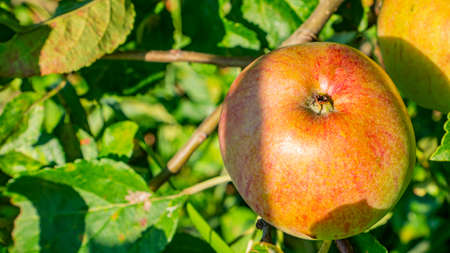 Apple fruit on a tree branch in the garden. Food photo. Harvesting the apple harvest. Orchard. Agriculture. Advertising photo of a shop window. Place for text. Template. Sunlight. Summer season.