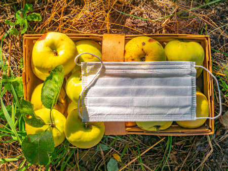 Yellow plum fruit and medical face mask. Work migration. Coronavirus. Epidemic. Harvest plums. Face shield in a pandemic. Agriculture. Harvesting in quarantine. Viral disease. Place for text. Stock fotó