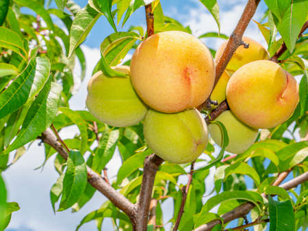 Peach fruit on a background of blue sky. Harvesting peaches in the garden. Food photo. Fruit juice. Agriculture. Vegetarian food. Vitamins. Tree branches. Background image.