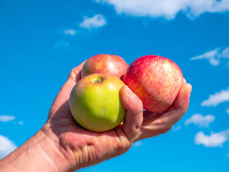 Apples in hand on a background of blue sky. Man's hand. Apple harvest. Blue sky with clouds. Orchard. Agriculture. Advertising photo of a fruit shop showcase. Place for text. Background image.