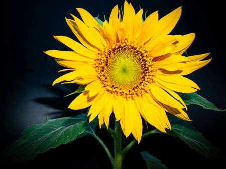 Yellow sunflower flower on a black background. Blooming sunflowers. Agriculture. Background image. Template for text. Outdoor advertising. Poster. Site page. Magazine cover.