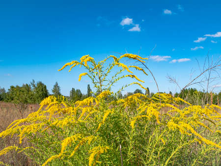 Blooming yellow wildflowers against the blue sky. Blooming flowers. Clear summer day. Cloudy horizon. Natural landscape. Background image Place for text.