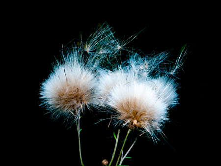 White fluffy dandelions on a black background. Wildflower seeds. Flying flower seeds. Background image. Place for your text.