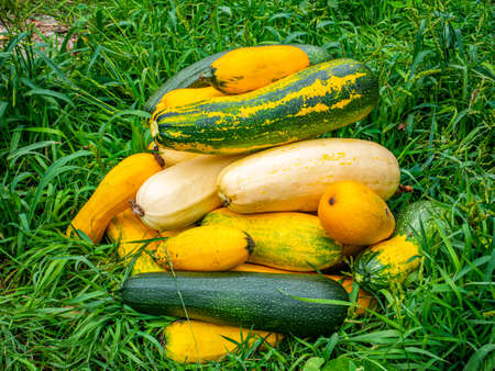 The harvested vegetable marrow lies on the green grass. Harvesting zucchini. Vegetable. Agriculture. Farmer. Background image. Place for your text.