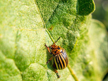 Striped Colorado potato beetle on a green leaf of a plant. Colorado potato beetle pest. Insect parasite on an agricultural field. Agricultural activities. Farm. Background image. Macro photo.