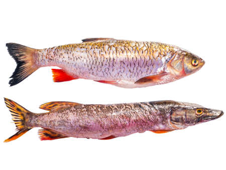 Pike and chub fish isolated on white background. Fishing catch of pike and chub. Freshwater fishing. Fish day. Cooking food. Menu of dishes. Fins. White background. Product. Place for text. Poster.