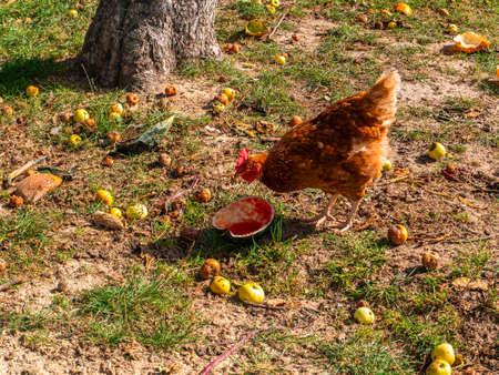 A brown hen eats a watermelon in an apple orchard. Stock fotó