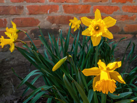 Blooming flowers of yellow daffodils with green leaves. Blooming flowers. Yellow daffodil. Plant petal. Garden floriculture. Brick wall. Red brick. Spring season. Natural background.