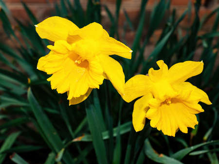 Blooming flowers of yellow daffodils with green leaves. Blooming flowers. Yellow daffodil. Plant petal. Garden floriculture. Day of Remembrance. Spring season. Natural background.