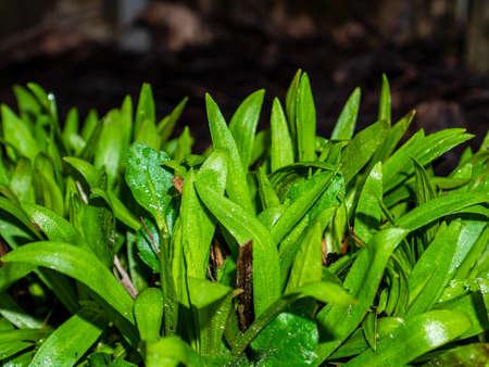 Green leaves of garden plants in spring. Green leaves of flowers. Park flower bed. Spring season. Spring gardening. Seedlings of plants. Background image. Stock fotó