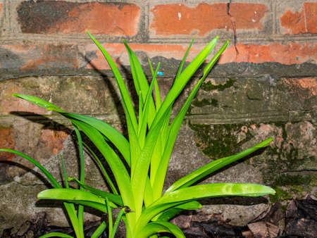 Green leaves of a plant on the background of an old brick wall. Plant flaws. Brick wall. Green color. Biology. Spring season. Background image. Beauty in nature. Natural background.