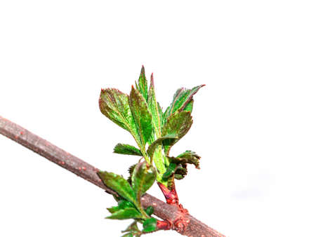 Opening green leaves of a tree on a white background. Green foliage. Tree branch leaf. Spring season. Earth Day. Botany. Natural background. Plant growth. White background.