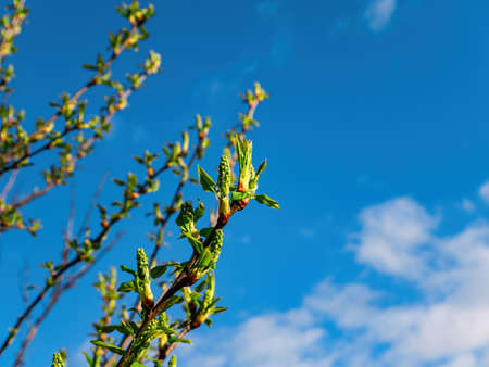 Green spring shoots of the Prunus padus tree against the blue sky.