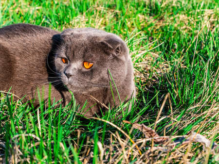 Scottish fold cat on a background of green grass.