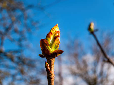 Spring green shoots of chestnut tree leaves.