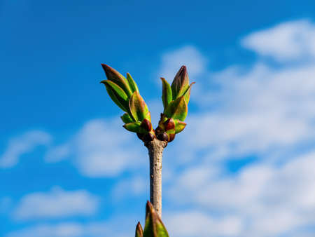 Spring shoots of green leaves of a lilac tree.