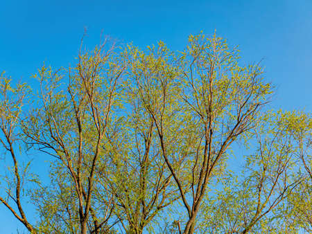 Spring shoots of green leaves of tree branches against the blue sky. Willow tree. Willow leaves. Green shoots. Blue sky. Cloudless sunny day. Spring season. Natural background.
