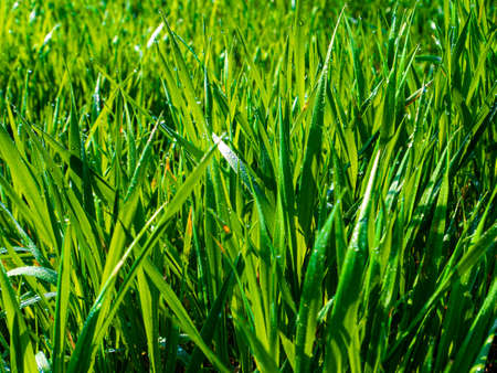 Green grass with drops of morning dew in sunlight. Green meadow grass. Morning dew. Foda drops. Sunlight. Farm field. Agricultural field. Pet food. Background image. Spring season.