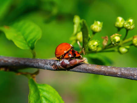 Spring mating season of ladybug insect beetle. Ladybug beetle. Reproduction of insects. The mating season of animals. Green foliage of trees. Natural background. Feel love. Romantic relationship.