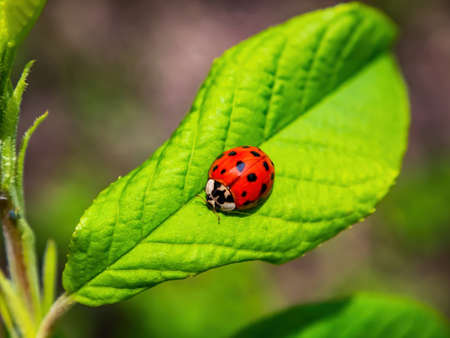 Red insect beetle ladybug on a green leaf of a tree. Ladybug beetle. Green foliage of trees. Natural background. Insects in nature. Spring season. Sunlight. Background image.