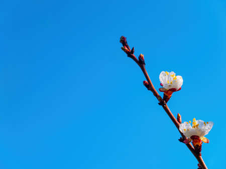 Spring flowering of the apricot fruit tree against the blue sky. White flower. Apricot tree. Blue sky. Gardening. Fruit trees. Spring season. Background image. White petal. Botany. Stock fotó