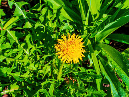 Spring blooming of yellow meadow flower dandelion. Yellow flowers dandelions. Green leaves. Sunlight. Spring season. Background image. Dandelion inflorescence. Botany. Stock fotó