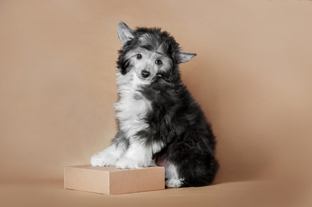cute fluffy puppy of chinese crested dog sitting on ginger background with paws on box