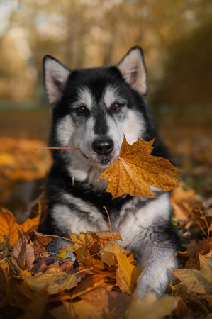 the dog lies and holds a leaf in his mouth Stock Photo