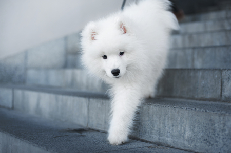 samoyed puppy walks down stairs in the city