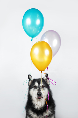 Dog with baloons in studio