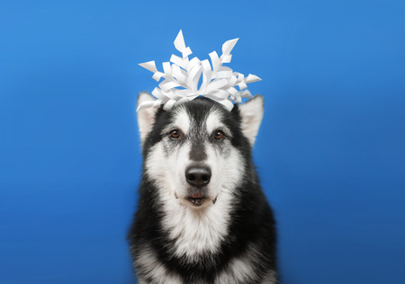 Cute malamute dog with paper snowflake on a head Stock Photo