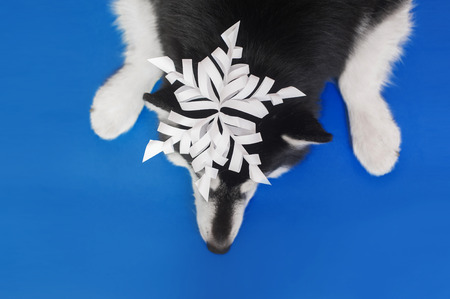 a dog lies on the blue bakground with the paper snowflake on a head