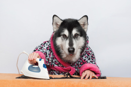 Malamute with human hands ironing the collar