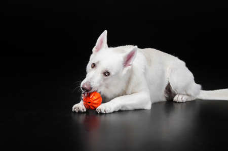 dog lies and holds the orange ball in his mouth. isolated on black background