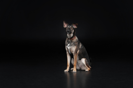 Mixed breed dog sitting, isolated on black background Stock Photo